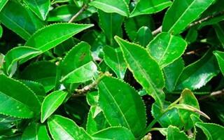 Зеленый чай: преимущества, польза, при каких заболеваниях пить
