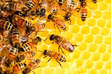 пчелиная перга