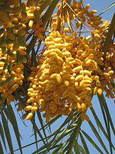 плоды фиников на ветке