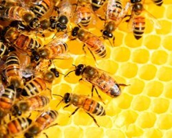 Перга пчелиная — полезные свойства и противопоказания. Как принимать пергу?