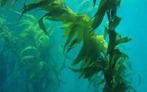 Полезные свойства и противопоказания ламинарии (морской капусты)