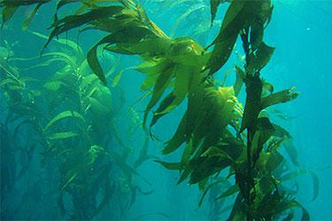 Ламинария под водой